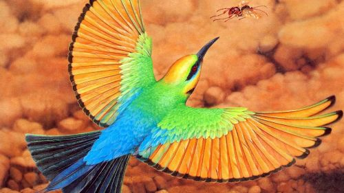 AGm098 Rainbow Bee Eater Oz