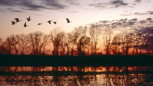 Canada Geese Migrating, Missouri