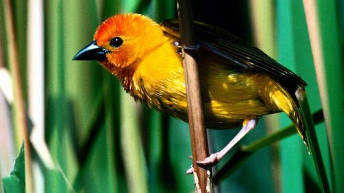 Golden Weaver, Kenya, East Africa