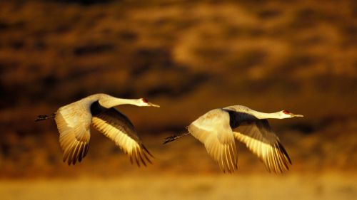 Sandhill Cranes In Flight, Bosque Del Apache N.W.R., New Mexico