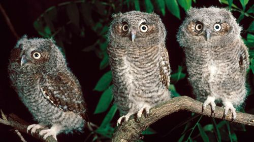 Trio Of Screech Owls, Pennsylvania